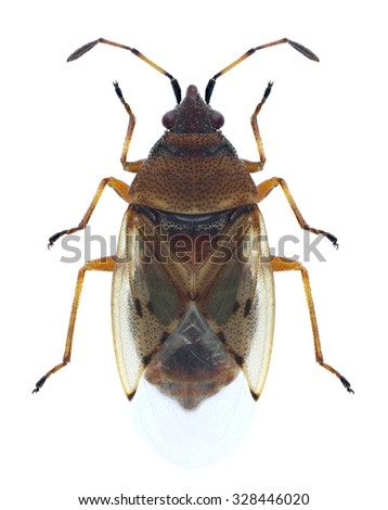 Bug Kleidocerys resedae on a white background