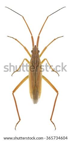 Bug Notostira elongata on a white background - stock photo