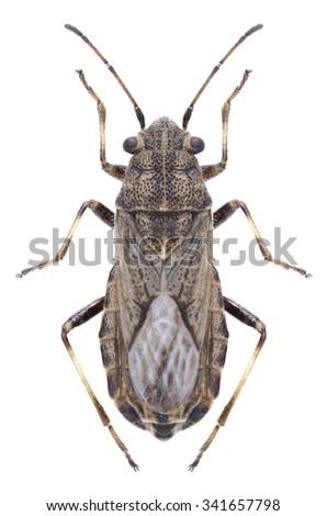 Bug Ortholomus punctipennis on a white background - stock photo