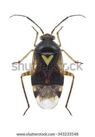 Bug Orthops basalis on a white background - stock photo