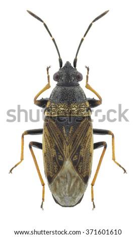 Bug Peritrechus gracilicornis on a white background - stock photo