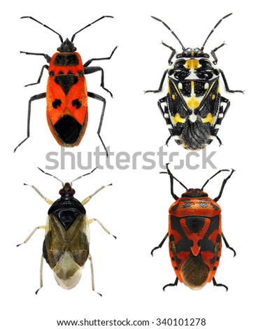 Bug species of Mediterranean Region (Insects of the order Hemiptera) on a white background - stock photo