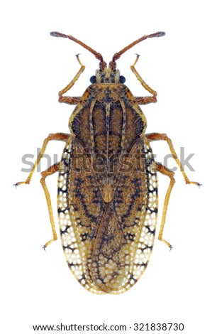 Bug Tingis pilosa on a white background - stock photo