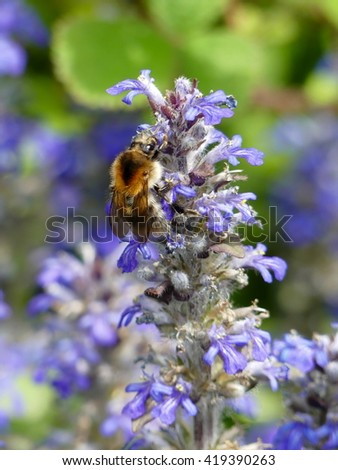 Bugle - Ajuga reptans Mass of flowers and bumblebee