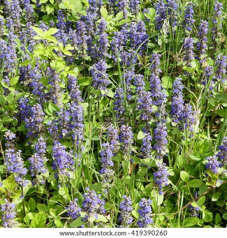 Bugle - Ajuga reptans Mass of flowers in long grass - stock photo