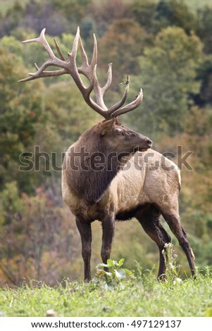 Bugling bull elk - Photograph taken during the fall rut in Elk State Forest, Elk County, Benezette, Pennsylvania.