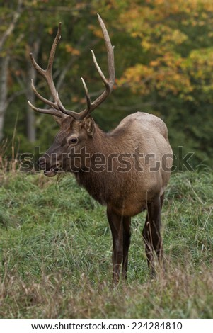 Bugling Bull Elk - Photograph taken during the rut in Elk County, Elk State Forest, Benezette, Pennsylvania