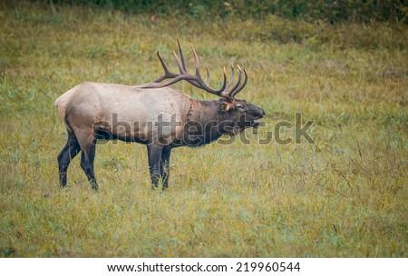 Bugling male bull elk calls for females during rut, soft focus - stock photo