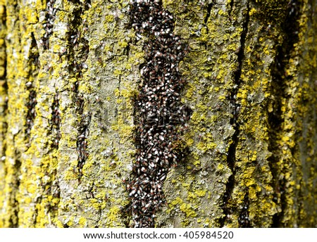 Bugs, ants on the tree, build a nest and carry the eggs fry. - stock photo