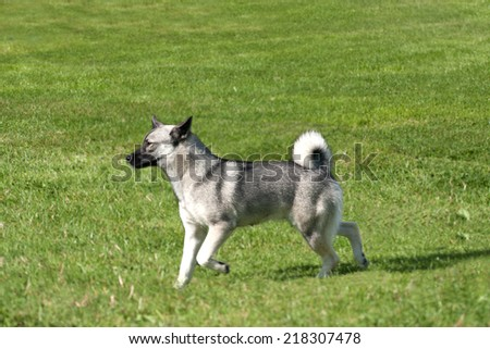Buhund running across a meadow
