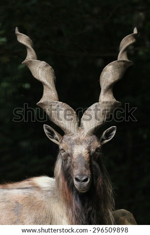 Bukharan markhor (Capra falconeri heptneri), also known as the Turkomen Markhor. Wildlife animal.  - stock photo