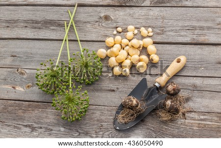 Bulbs Allium aflatunense, garden shovel and faded blossoms on a wooden background - stock photo