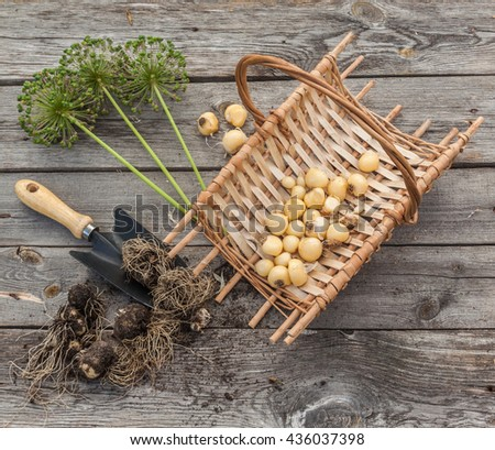 Bulbs Allium aflatunense  in a basket, garden shovel and faded blossoms on a wooden background - stock photo