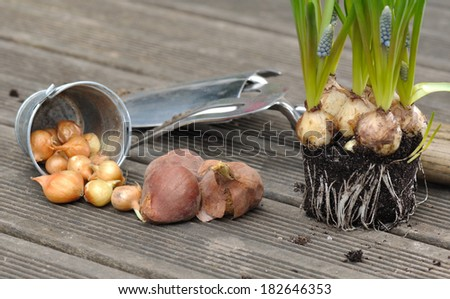 bulbs and  flowers (forget-me) on the floor of a wooden deck for potting