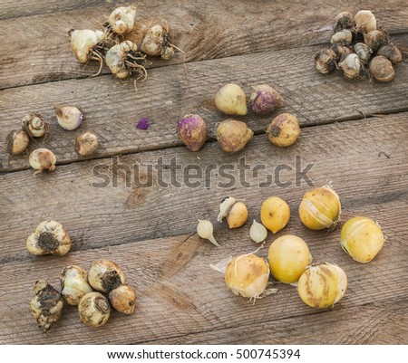 Bulbs of flowers blossoming in spring on a wooden table