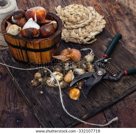 Bulbs plants autumn harvesting.Bulbs of plants on the background of wooden tubs in  rural style. - stock photo