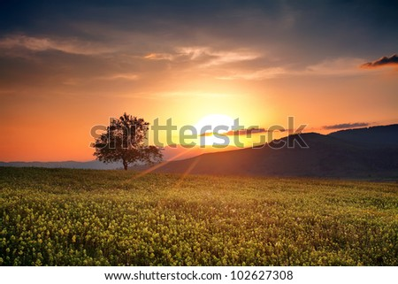 bulgarian summer HDR sunset with single calm tree over the yellow field - stock photo
