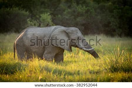 Bull African Elephant feeding in Khwai Reserve in Botswana - stock photo
