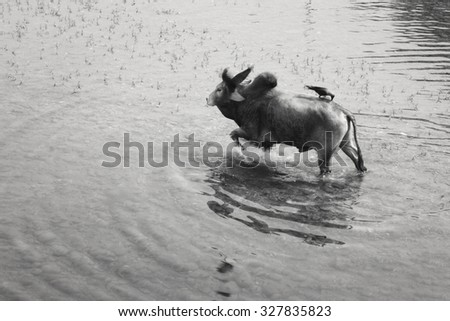 Bull and crows in the river, India, Baijnath