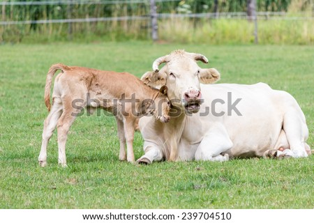 Bull calf hugging mother cow in meadow - stock photo