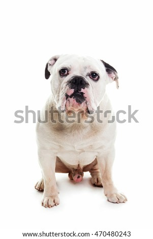 bull dog in white studio, sitting front side
