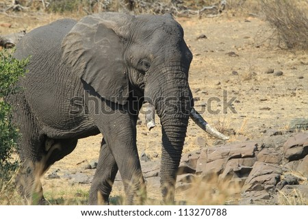 Bull elephant - stock photo