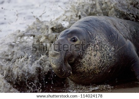 Bull Elephant Seal comes ashore onto San Simeon Beach - California - stock photo