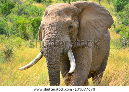 Bull Elephant Wanders His Domain. This is a shot of a 45 to 50 year old male bull elephant as he wanders around in the setting sun. - stock photo
