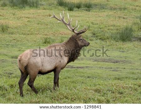 Bull Elk 2 - stock photo