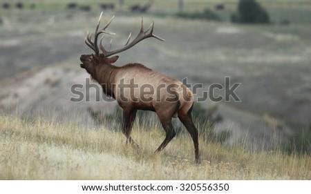 Bull Elk bugling - stock photo