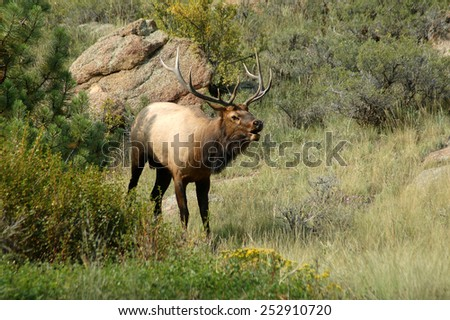 Bull elk bugling during fall mating season in the Rocky Mountains