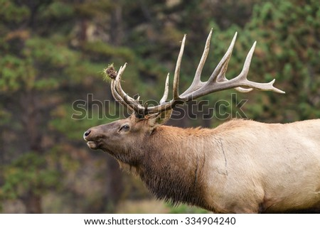 Bull Elk Bugling During the Fall Rut