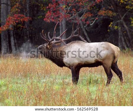 bull elk bugling in cold  - stock photo