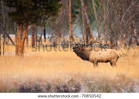 Bull elk bugling near a forest edge in Yellowstone. - stock photo