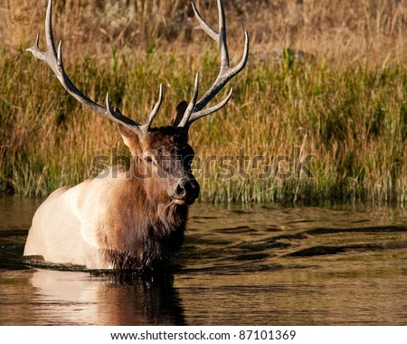 bull elk crossing a river during fall in Yellowstone national park - stock photo