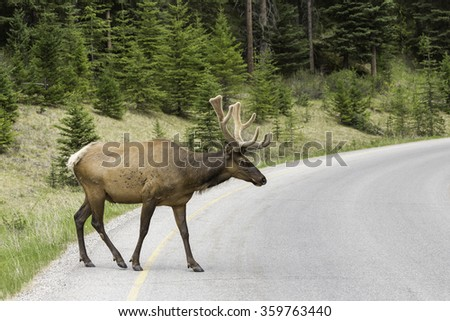 Bull Elk Crossing Roadway in Banff National Park, Alberta - stock photo