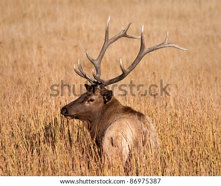 Bull elk during fall in Yellowstone national park - stock photo