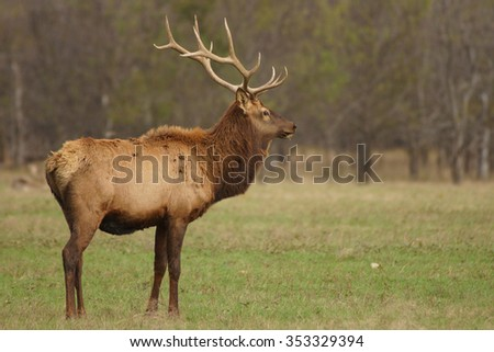 Bull elk focusing on distant object.