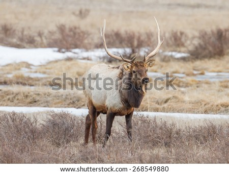 Bull Elk found grazing in Grand Teton National Park near Jackson Hole Wyoming. - stock photo