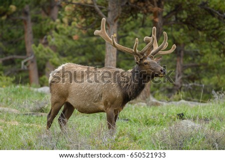 Bull Elk - Full side-view of a Bull Elk, with velvet covered antlers, in a Spring pine forest at Rocky Mountain National Park, Estes Park, Colorado, USA.