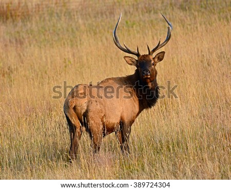 bull  elk in autumn in  rocky mountain national park, colorado
