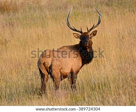 bull  elk in autumn in  rocky mountain national park, colorado - stock photo