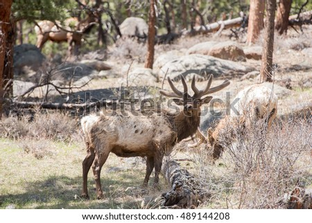 Bull elk in Rocky Mountain National Park in spring
