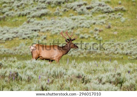 Bull Elk or Wapiti in summer in Yellowstone National Park - stock photo