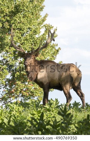 Bull Elk - Photographed during the rut