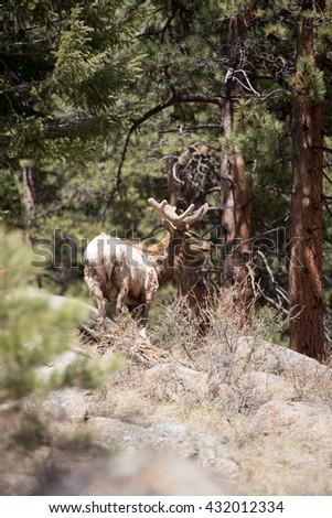 Bull elk, portrait - stock photo