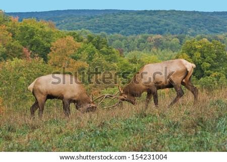 Bull Elk Sparring - Photograph taken during the rut in Elk County, Elk State Forest, Benezette, Pennsylvania - stock photo