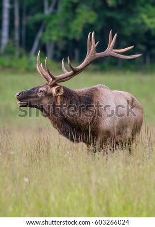Bull Elk Starts to Bugle in Cataloochee Valley