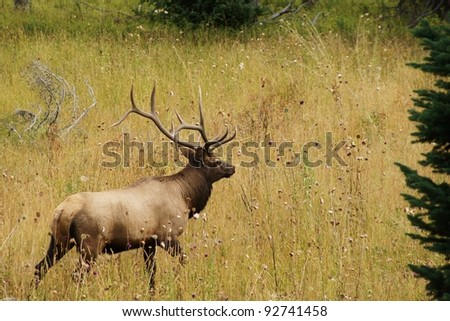 Bull Elk Walking In The Grass