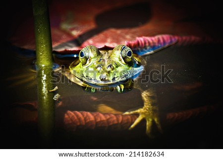 Bull Frog Hiding Beneath the Lily Pad